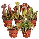 Swampworld Fleischfressende Pflanzen Set - 5 Stück - Venusvliegevalle, Sonnetau und Schlauchpflanze