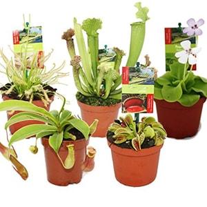 Fleischfressende Pflanzen Set