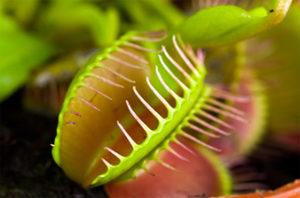 fleischfressende pflanzen pflegen bekannteste arten. Black Bedroom Furniture Sets. Home Design Ideas