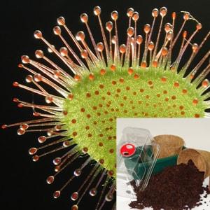 Fleischfressende Pflanzen Samen - Roteblättiger Sonnentau