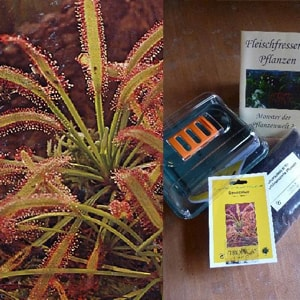 Fleischfressende Pflanzen Samen - Sonnentau