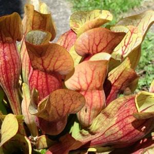 """Die fleischfressende Pflanzen Terrarium Anzucht mit der SAFLAX """"Garden to Go"""" Schlauch- und Kannenpflanze (Sarracenia flava, S. purpurea)"""