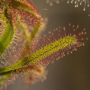 Fleischfressende Pflanzen Terrarium klimatisiert