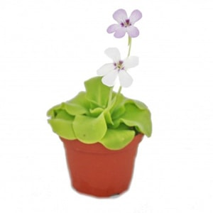 fleischfressende pflanzen terrarium - fettkaut