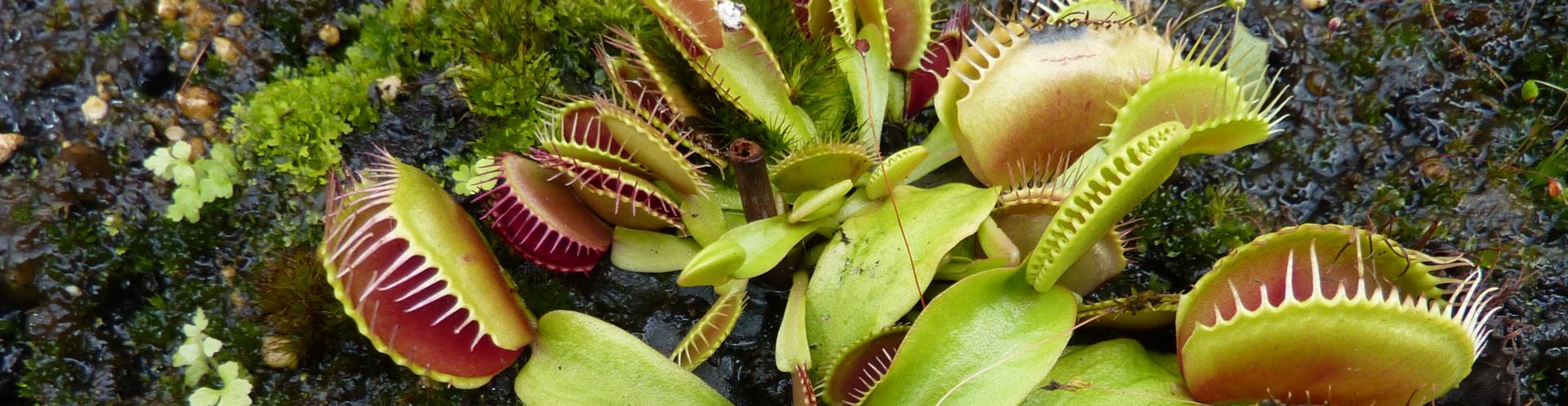Fleischfressende Pflanze Kaufen-Slider-1