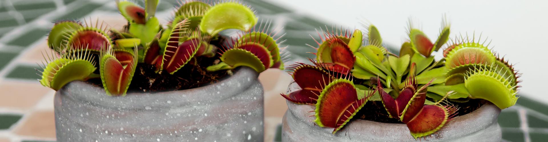 Fleischfressende Pflanze Kaufen-Slider-2
